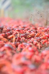 Red crab migration - Christmas Island, Indian Ocean