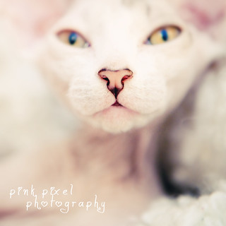Kittens are angels with whiskers~ | by Pink Pixel Photography (f.k.a. Sunny)