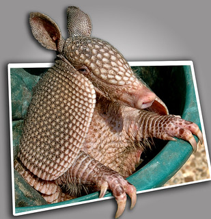 Armadillo - Ready for Stardom | by Jeff Clow