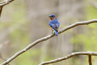 Eastern Bluebird | by ralph and jenny