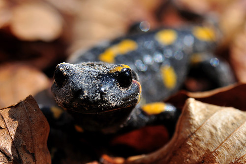 Zemplén Mountains (Hungary) - Spotted salamandra | by ๑۩๑ V ๑۩๑