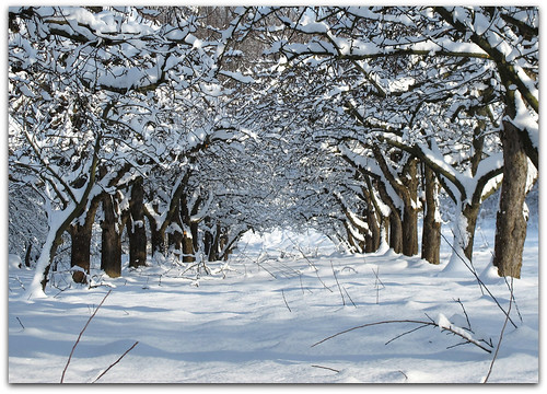 Avenue of the snowy Apple Trees | by Habub3