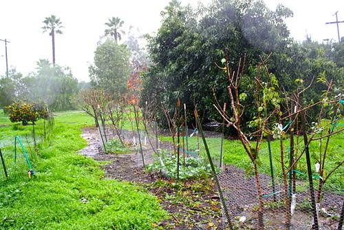 fruittrees in the rain | by laderafrutal