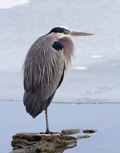 Great Blue Heron | by m_Summers