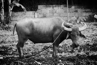 Kalabaw   Mr. Leeds   Flickr