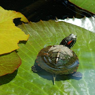 Baby turtle sunning on lily pad and nibbling its edges | by jungle mama