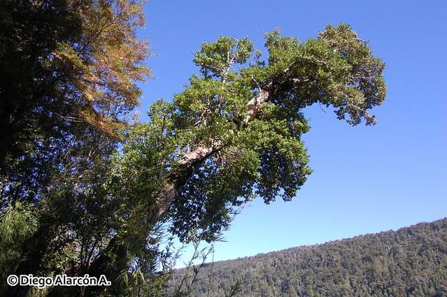 Hábito del árbol Dasyphyllum diacanthoides