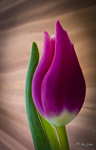 Tulip-2 | by de joie……apologizing for being slow