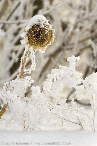 Frozen sunflower | by McCormick Photography