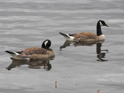 Canada Geese in ottawa | by pegase1972
