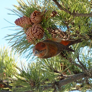 Red Crossbill at Seven Presidents Park | by Dendroica cerulea