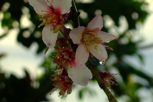 Almond flowers after the rain | by ebygomm