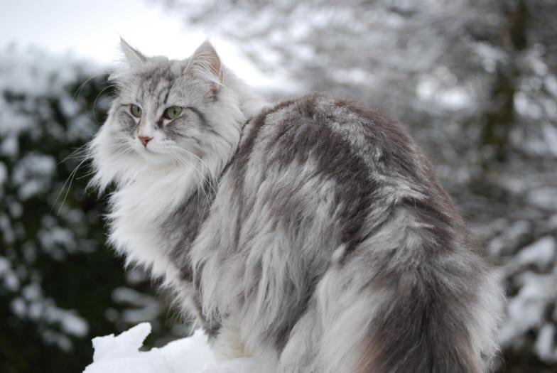 norwegian-forest-cat2