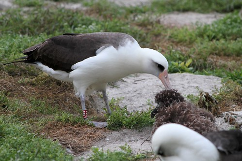 Wisdom returns to feed her chick | by USFWS Pacific