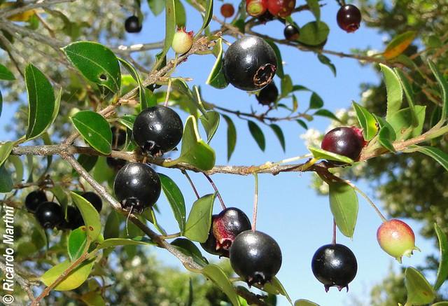 Frutos de Amomyrtus luma