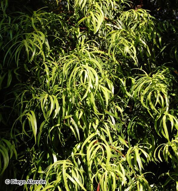 Follaje de Podocarpus salignus