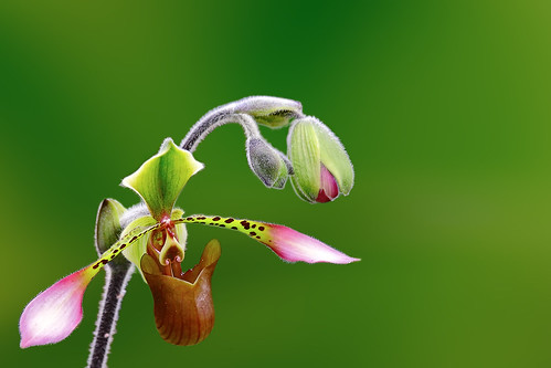 Lady's Slipper Orchid | by tropicaLiving - Jessy Eykendorp
