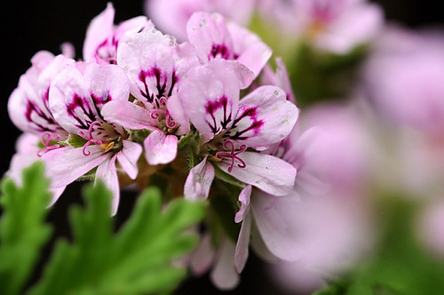 Pelargonium graveolens | by sleepyhead2004