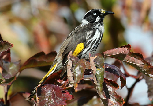 Phylidonyris novaehollandiae (New Holland Honeyeater)