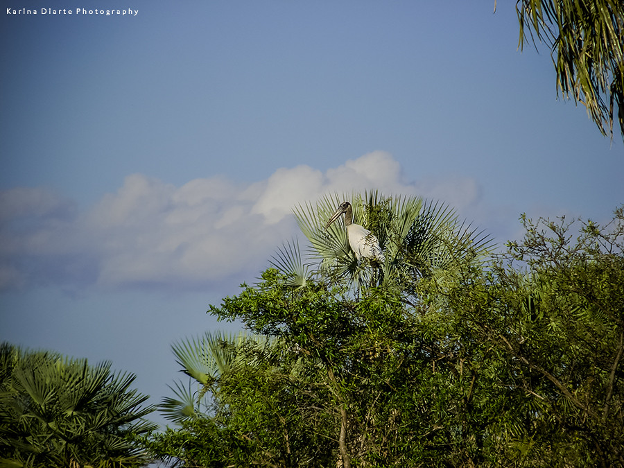 Tuyuyu - Mycteria americana