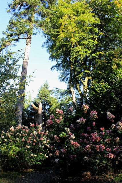 Rhododendrons at Ardkinglas Woodland Garden, Argyll