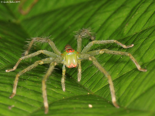 green spider with bright orange markings - indet. from W-Papua | by gbohne