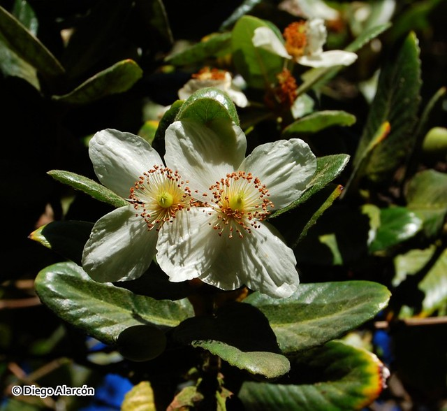 Eucryphia cordifolia