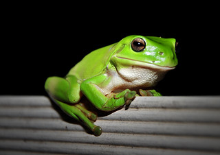 Picasso the Green Tree Frog | by Luke-rative
