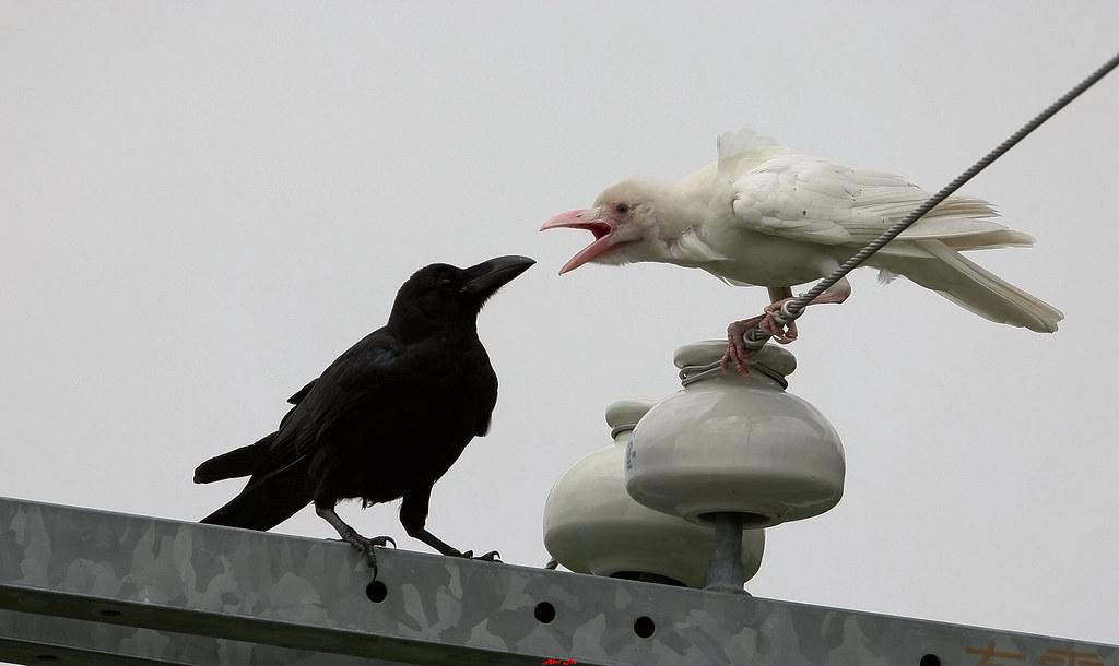白烏鴉 White Crow 1-6Z2K4533(Taiwan019)