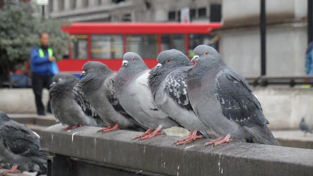 Proud pigeons