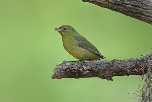 (Female) Painted Bunting - Passerina ciris | by Cleber C. Ferreira