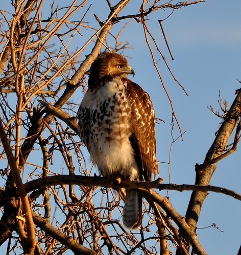 Red-tailed Hawk | by KoolPix