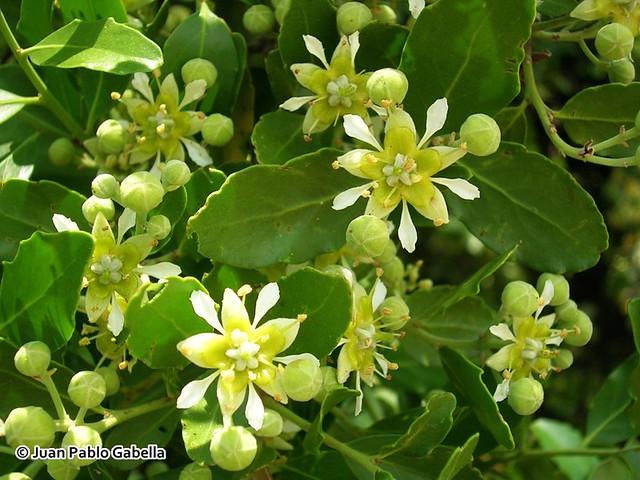 Flores de Quillaja saponaria