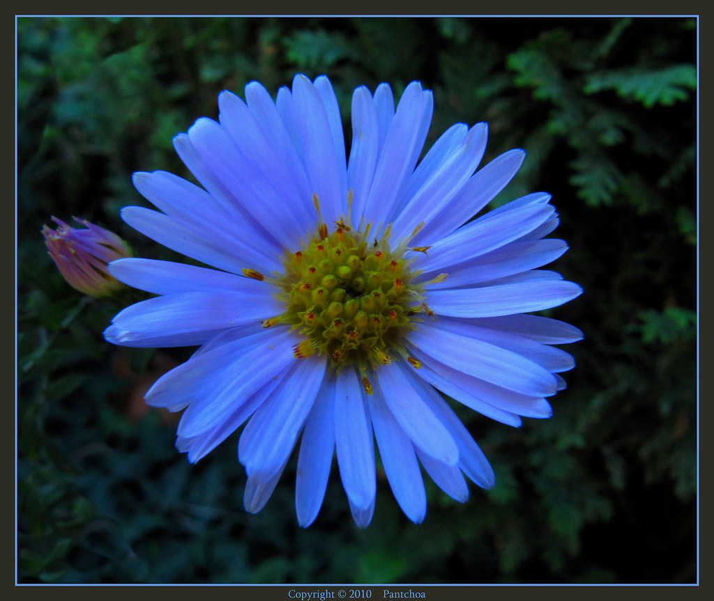 1000 ideas about Aster Flower on Pinterest