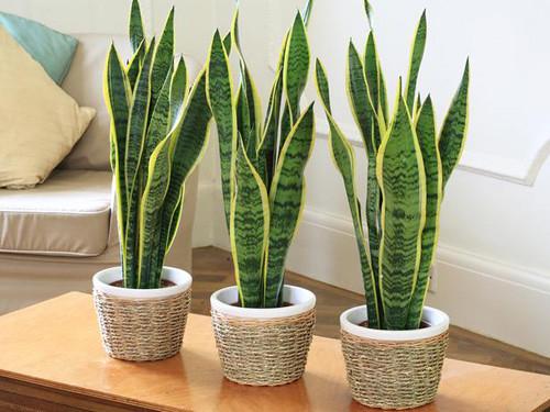 Muốn sống thọ trăm tuổi, hãy trồng ngay những cây quý này ở trong nhà!
