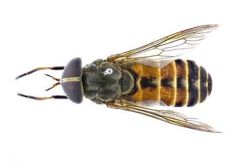 ウシアブ♀ Tabanus trigonus Cocquillet, 1898-3-3