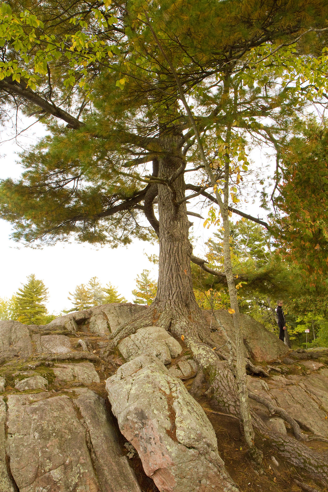 bf rocky tree