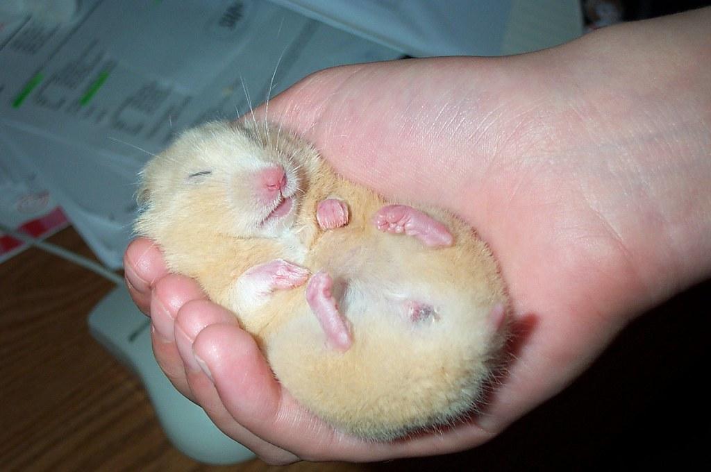 丸まって眠るハムスター