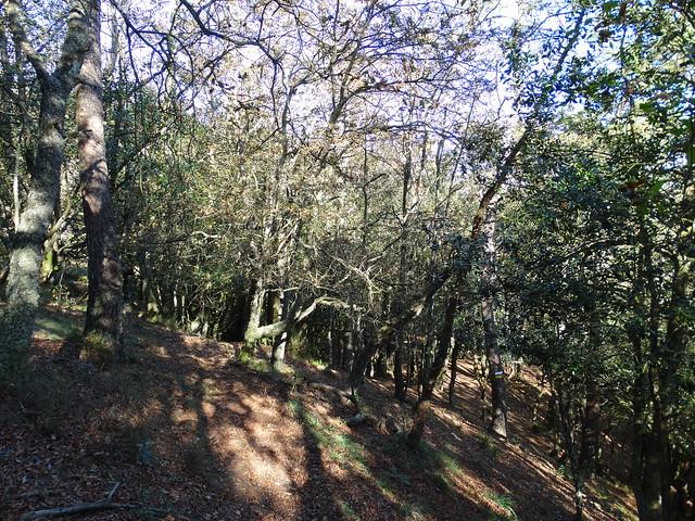 Bosque de Acebo en A Fragavella