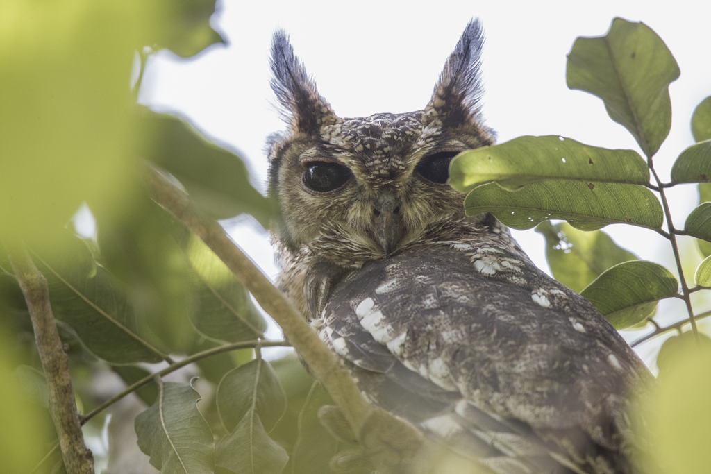 Greyish Eagle Owl  Gambia 2016