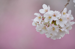Cherry blossoms | by guimo648
