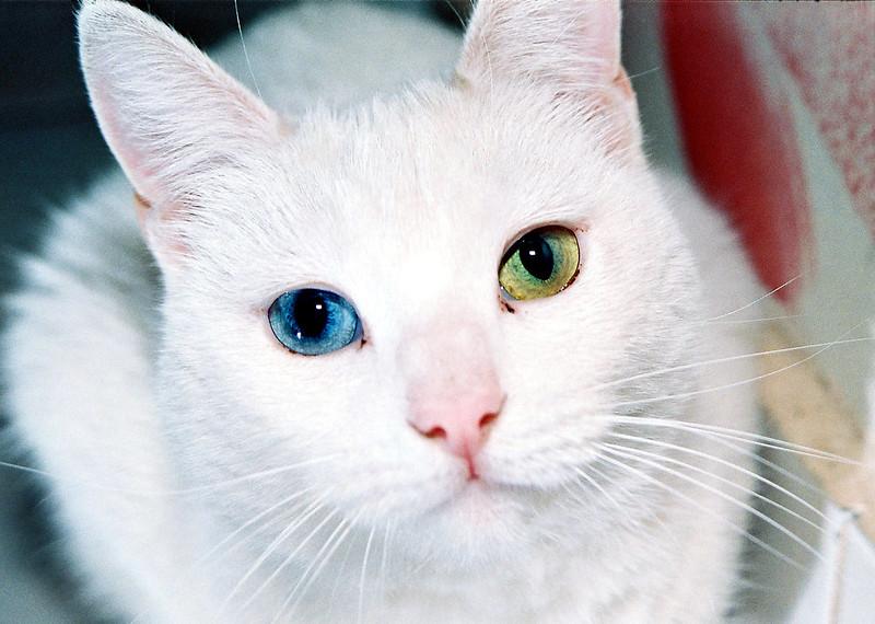 khao-manee-cat51