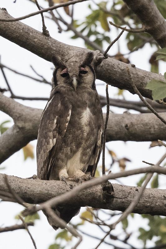 Verraux's Eagle Owl-3