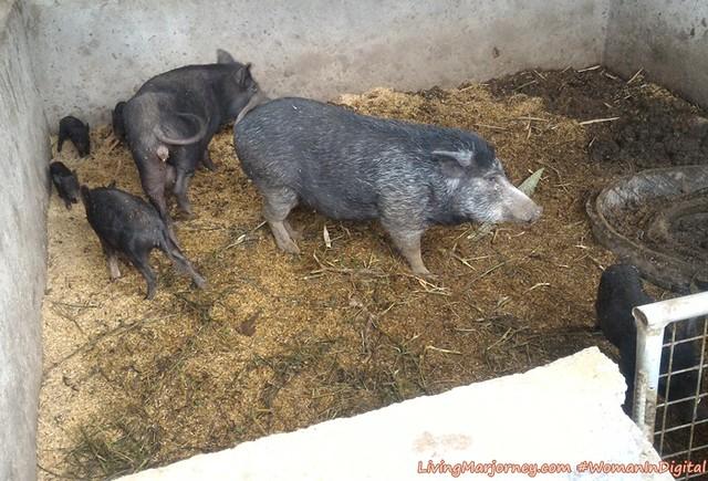 Terra-Verde-Organic-Wild-pig