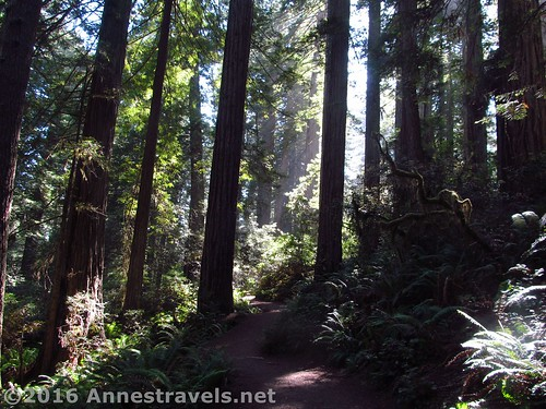 Trail through the redwoods of the Lady Bird Johnson Grove, Redwood National Park, California