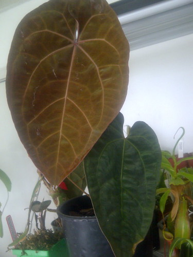Anthurium ace_of_spades_lrule