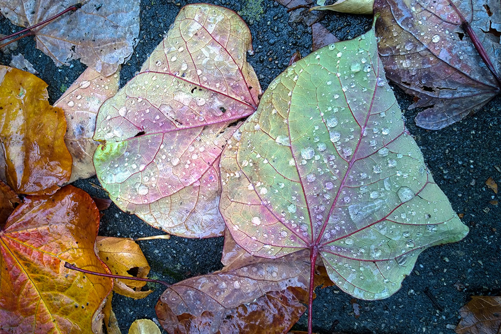 20161025_Wet_leaves