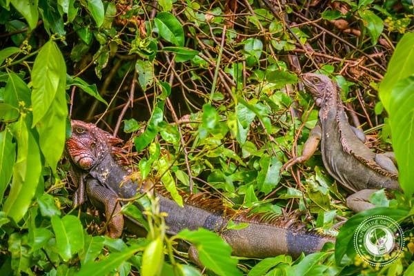Iguana in Sierpe