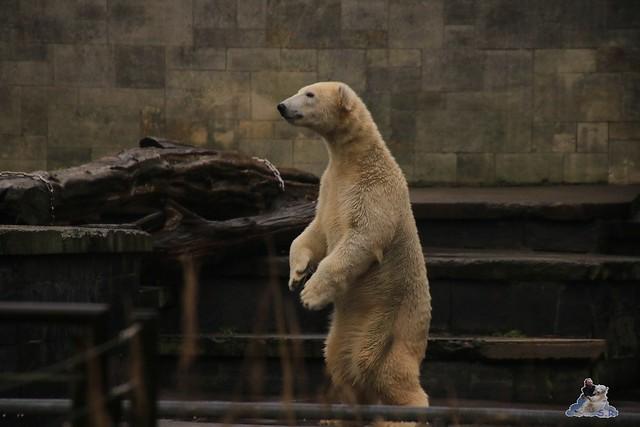 Eisbär Fiete im Zoo Rostock 05.11.2016 087
