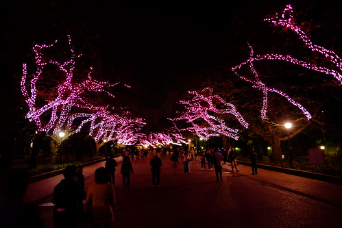 Winter cherry blossom illumination Ueno Akari Park 2016 16